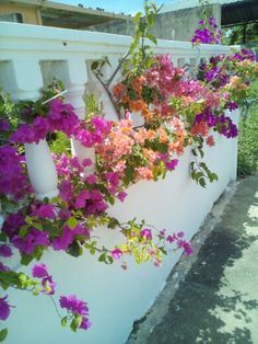 Bougainvilleas growing through the brick partition at my sister's home in Trinidad