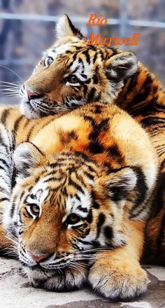 Tiger are starting to become Endangered. Not a good thing for tigers. Pretty Cats, Beautiful Cats, Animals Beautiful, Big Cats, Cats And Kittens, Cute Cats, Siamese Cats, Cute Baby Animals, Animals And Pets