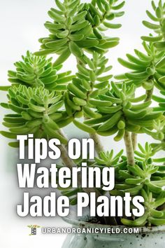 In this article, we discuss best ways to water your jade plants and when to water your jade plants. We also talke about how often you have to water jade plants. Jade plants, also known as money plants or lucky plants (scientific name Crassula ovata) are succulents that can grow with little water. But, if you don't water the succulents, leaves start to drop or the leaves get spots. #Succulents #Plants #WhenToWaterJadePlants #TakingCareOfJadePlants #IndoorGardening #Gardening… How To Water Succulents, Propagating Succulents, Growing Succulents, Succulent Gardening, Succulent Care, Indoor Gardening, Types Of Soil, Types Of Plants, Lucky Plant