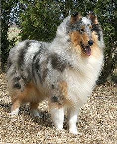 Blue Merle Rough Collie. #dogtherapy #dogs #puppies More