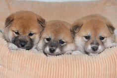 毛色や大きさによって違う??気になる柴犬の価格、値段について調べてみました!に投稿された画像|Qoon [くーん]