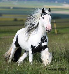 Awesome Gypsy Vanner.