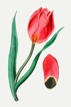 Vintage Sun's eye tulip for decoration | premium image by rawpixel.com Pink Glitter Background, Eye Illustration, Free Illustrations, Flower Illustrations, Red Lily, Vintage Flowers, Tulips, Free Images, Orchids