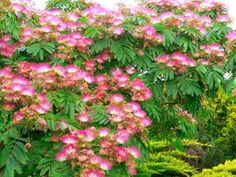 Mimosa Trees - Beautiful, Exotic, Aromatic -- and Threatening?  https://dengarden.com/landscaping/Mimosa-trees-facts-information
