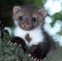 BEECH MARTEN....aka the Stone Marten, White Breasted Marten, or House Marten...found in Europe and Central Asia in open woodlands and rocky areas....measure 16.5 - 19 inches long with a 10 inch tail and a weight of 3.25 - 5.5 pounds....an agile climber and excellent swimmer