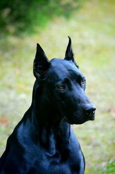 """Check out these too-cute-too-handle doberman mixed breeds! From Doberman / Lab mxies to Dobbie / Coonhound combos, you'll """"aww"""" over all these breeds! Doberman Noir, Black Doberman, Doberman Pinscher Dog, Doberman Pup, Great Dane Mix, Great Dane Puppy, Big Dogs, Large Dogs, Chien Dobermann"""