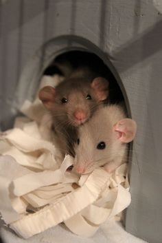 Rats are astoundingly sociable and loving pets. They need and enjoy interaction and look forward to time spent with you. Hamsters, Rodents, Cute Small Animals, Animals And Pets, Baby Animals, Funny Rats, Cute Rats, Rata Dumbo, Les Rats