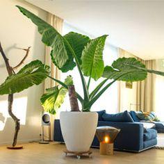Tropical House Plants, House Plants Decor, Green Plants, Air Plants, Plant Breeding, Outdoor Fireplace Designs, Plant Projects, Pot Plante, Bedroom Plants