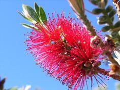 Red Bottlebrush (Callistemon 'Kings Park Special'). Another beautiful drought tolerant Australian flowering shrub. Great for screening or hedging.