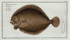 Pleuronectes maximus, The Turbot. (1785-1797)