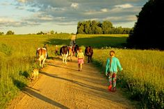 Lietuva/Lithuania - taking the cows out