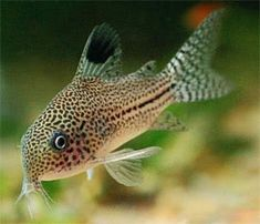 Leopard Corydoras (Corydoras trilineatus) Size: approx * Delivery service provided within Singapore Only. Tropical Fish Aquarium, Tropical Freshwater Fish, Freshwater Aquarium Fish, Fish Aquariums, Diy Aquarium, Cory Catfish, Aquarium Catfish, Plecostomus, Fish Tank Design
