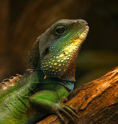 Chinese Water Dragon. Brett, My older brother has had 2 of these. BEAUTIFUL lizards.
