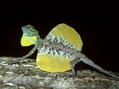 Flying lizard ( Draco volans : Agamidae ) male with his gular flap and wings extended in territorial display , in rainforest Sulawesi stock photo Tiny Dragon, Little Dragon, Lizard Dragon, Reptiles Et Amphibiens, Mammals, Amazing Animals, Cute Animals, Draco, Fauna