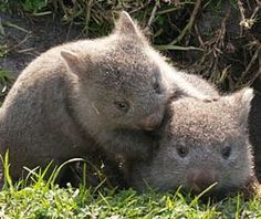 Wombats! Are they legal as pets?? Kinda want to adopt 100 of them...