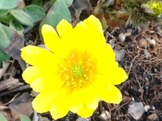 Adonis amurensis, a cheery late winter bloomer.