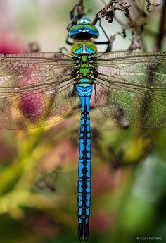 Ideas Blue Bird Photography Animals For 2019 Dragonfly Images, Dragonfly Insect, Dragonfly Tattoo, Insect Art, Blue Dragonfly, Dragonfly Crafts, Dragonfly Wings, Dragonfly Photography, Insect Photography