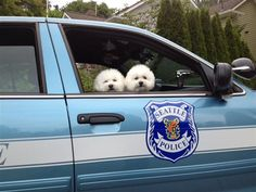 Seattle Police Department represents for 'Bring Your Dog to Work Day! Animals Beautiful, Cute Animals, Bichon Dog, Pet News, Police Dogs, White Dogs, Working Dogs, Dog Pictures, Best Dogs