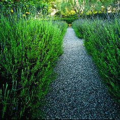 gravel path lined with rosemary would be great