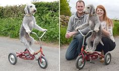 It's Bradley Waggins! Bedlington terrier becomes a cycling star. See this & more at: http://twodaysnewstand.weebly.com/mail-onlinecom
