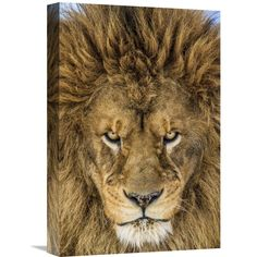 Global Gallery Mike Centioli 'Serious Lion' Stretched Canvas Artwork