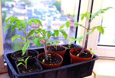 Tomaten aus Samen selber ziehen: Einfache Anleitung für unverfälschten Genuss  #alte Tomatensorten #selbstgezogene Tomaten #Tomaten aus Samen selber ziehen #Tomaten selber ziehen #Tomatensamen #Tomatensamen online #vergeilen