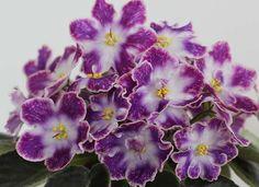 ❀DS-Izjum ❀ African Violet ❀Plug Plant ❀