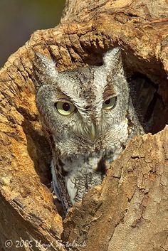 Eastern Screech-Owl (gray morph) | from Lloyd Spitalnik Photography
