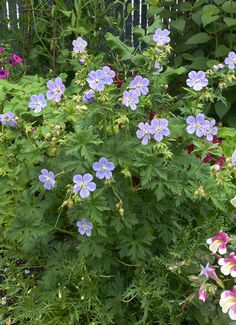 """Geranium pratense 'Mrs. Kendall Clark'  An easy, vigorous bloomer, the good-sized 1.5"""" lavender veined with white flowers are held upright all Summer above handsome, finely divided foliage. One of the taller hardy geraniums, it'll top 2' high & 3' wide, making an attractive clump as it continues to bloom. An effective mixed planting filler, cut it back to refresh. Side-dress with compost in spring for heaviest bloom. Clay tolerant, rich soil is best. Self-sows."""