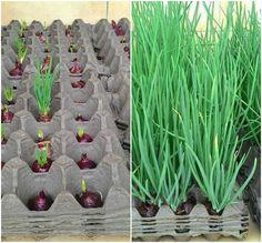 """Rohelise sibula """"põld"""". Idee sibulate kasvatamiseks. Kuna sibul ei taha roheliste võrsete kasvamiseks palju vett, siis saab eduliselt ka vanades munarestides kasvatada."""