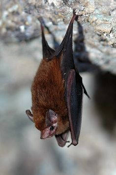 Lesser Doglike Bat (Peropteryx macrotis) Over 1300 species of bats around the world. www.batsbirdsyard.com = Bat Houses.