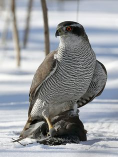 Northern goshawk by 29dec1971. Please Like http://fb.me/go4photos and Follow @go4fotos Thank You. :-)