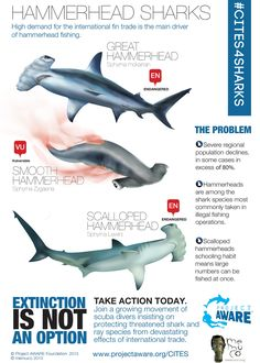 Hammerhead Sharks #infographic Designed by Guillermo Munro of memuco via @Project AWARE