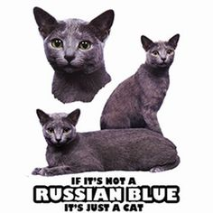 Russian Blue Cat Womens Short Sleeve T Shirt - Cat T Shirts - Katzen Beautiful Kittens, Nine Lives, Russian Blue, Blue Cats, Cat Breeds, Dog Days, Colorful Shirts, Funny Animals, T Shirts For Women