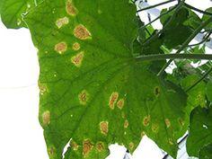 Чтобы не желтели листья огурцов