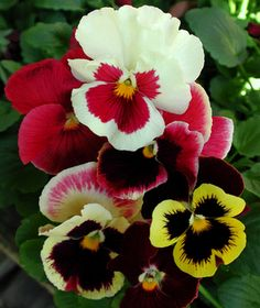Pansies, a perrenial in the Seattle area. A great choice as an edging plant - a punch of color is always nice. These are on my shopping list this week.