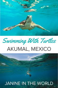 Everything you need to know about swimming with turtles in Akumal, Mexico. Swimming with turtles in the wild is such an amazing experience! #seaturtles #akumal #mexico #rivieramaya #mexicotravel #traveltips #mayanriviera #akumalmexico