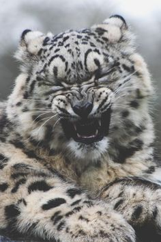 A Crying Clouded Snow Leopard Cub That was halarious man! Leopard Cub, Clouded Leopard, Baby Snow Leopard, Big Cats, Cats And Kittens, Cute Cats, Beautiful Cats, Animals Beautiful, Animals And Pets