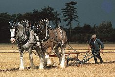A team of Clydesdales pulling a plow at a draft-horse demonstration.