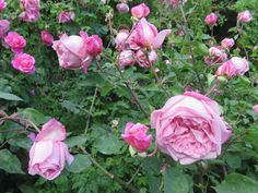 """Mrs. B.R.Cant"" old Tea rose - www.cadellerose.org"