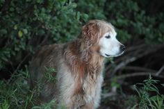 www.poeticgold.com Our soulmate and eldest golden, Finn