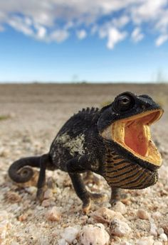 Namaqua chameleon, Chamaeleo namaquensis, in a threat display in the Namib Desert, Namibia