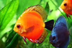 Image result for tropicalfish