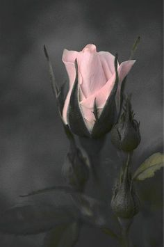 Raindrops and Roses: Photo Beautiful Roses, Pretty In Pink, Beautiful Flowers, My Flower, Flower Power, Ronsard Rose, Raindrops And Roses, Rose Wallpaper, Love Rose