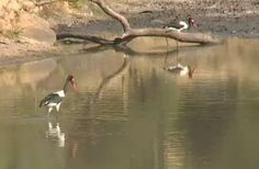 Male and female Saddle Billed Storks at Gowrie Dam in Djuma Game Reserve,