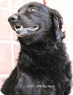 Wylie, TX - Flat-Coated Retriever Mix. Meet Levi a Dog for Adoption.