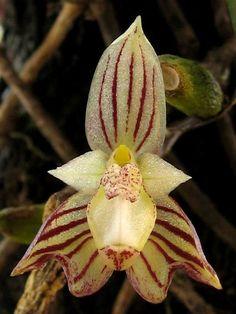 Bulbophyllum ambrosia...