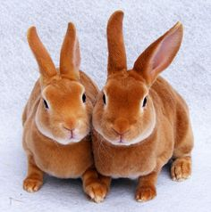 """Ruby & Daisy"" – Pure Orange Mini Rex Does.  They look super soft!!!"