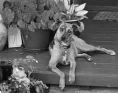 Lola the lovey year old Catahoula. rescued from the shelter in 2012