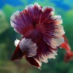Some interesting betta fish facts. Betta fish are small fresh water fish that are part of the Osphronemidae family. Betta fish come in about 65 species too! Betta Aquarium, Freshwater Aquarium Fish, Betta Fish Care, Koi Betta, Pretty Fish, Beautiful Fish, Beautiful Pictures, Colorful Fish, Exotic Fish